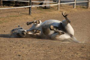 Colic In Horses Symptoms