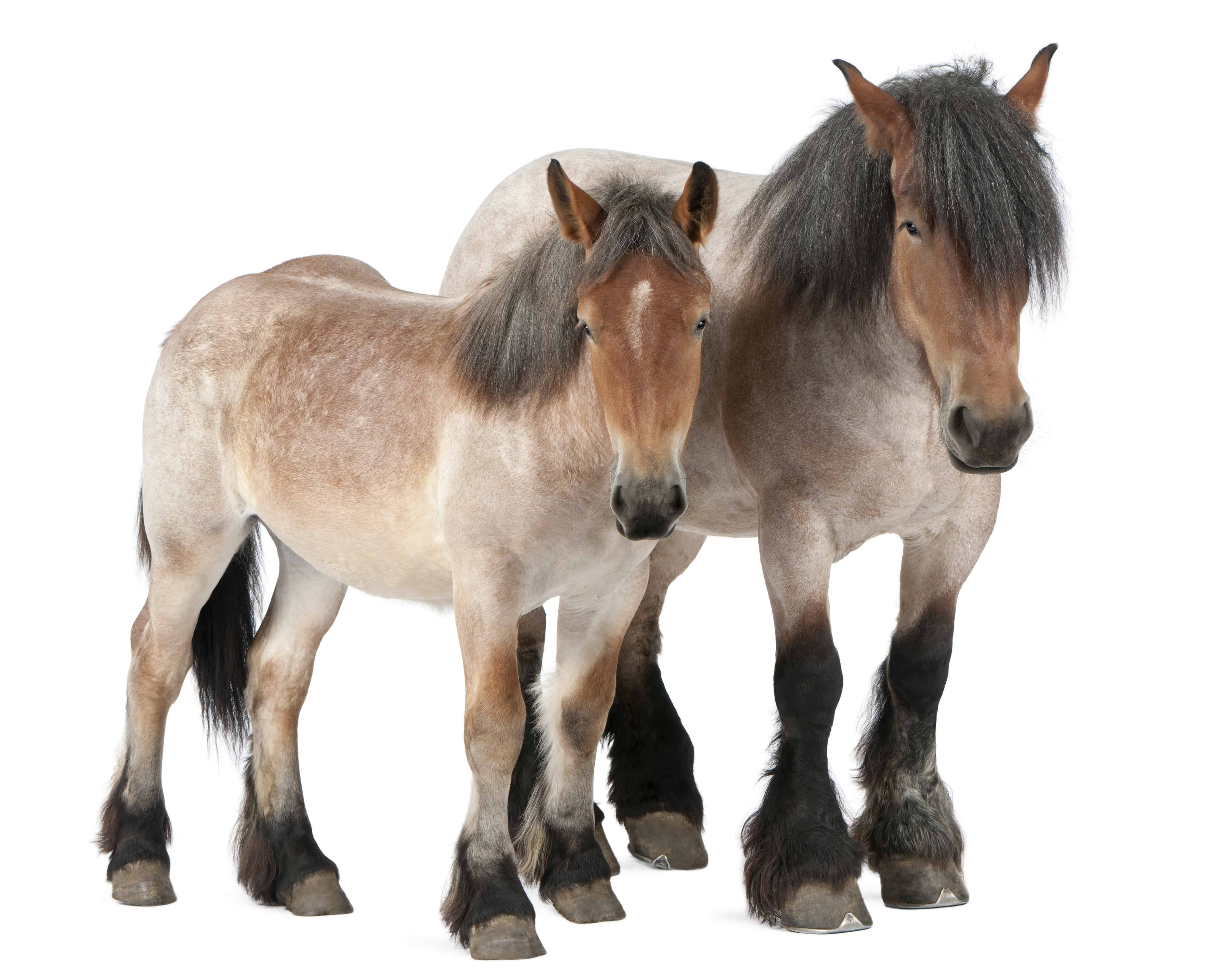 Largest Horse Breed For Riding All You Need To Know About Horses