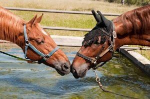 Colic In Horses Preventatives
