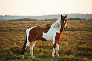 Horse Color Genetics: Gene TO