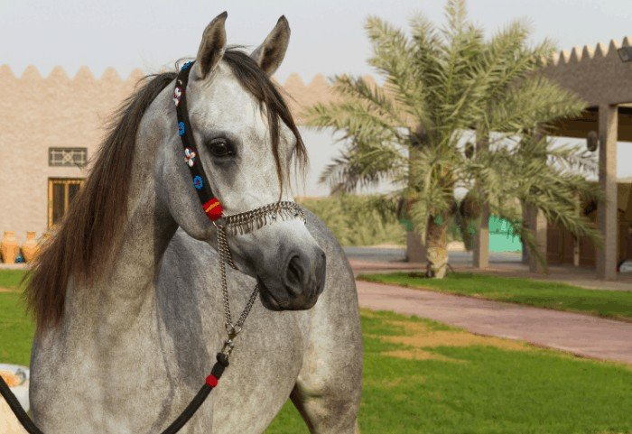 How Much Does An Arabian Horse Cost? Arabian Horse Price Information.