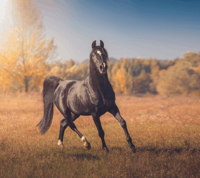 General Information on Arabian Horses - Arabian Horse Cost Information
