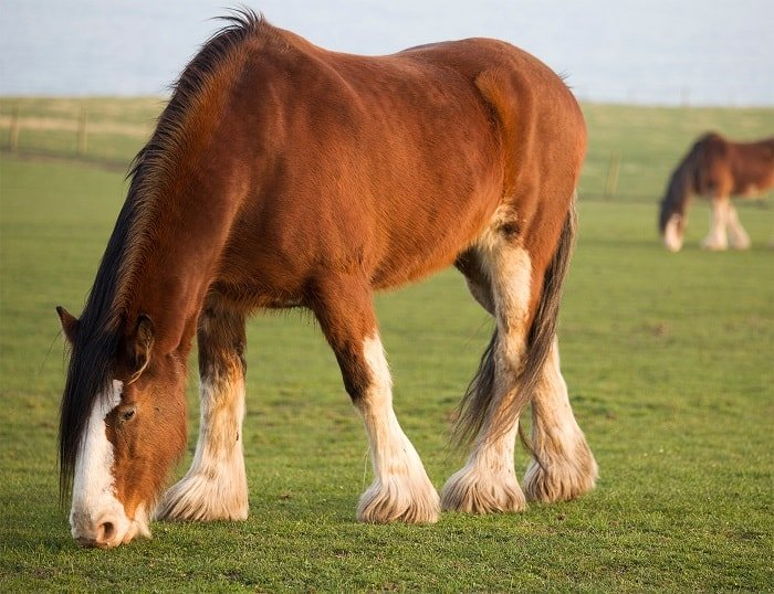 Average Clydesdale Weight - How Much Does a Clydesdale Weigh?
