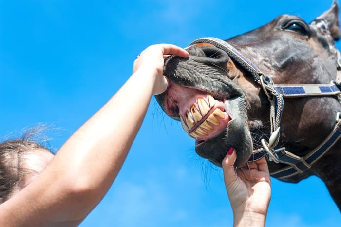 Aging a Horse by Teeth: Cups in Teeth