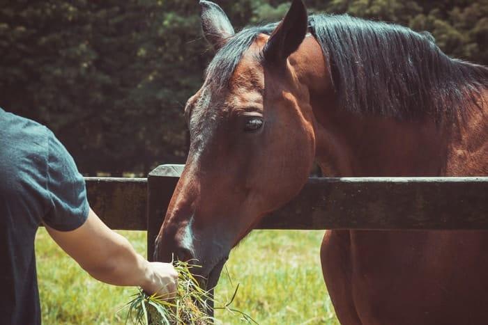 chopped hay for senior horses Chopped Hay